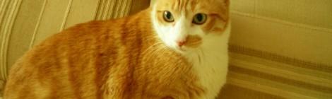 Consejos para el cuidado del gato gordo