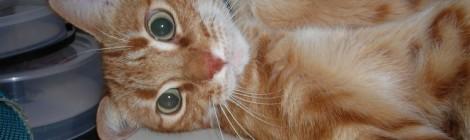 Cuidados veterinarios del gato