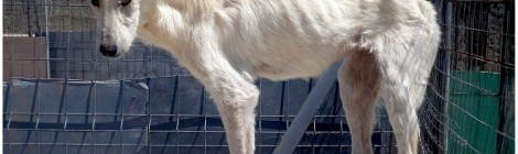 Perro con leishmaniosis