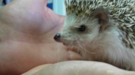 Erizo en consulta veterinaria