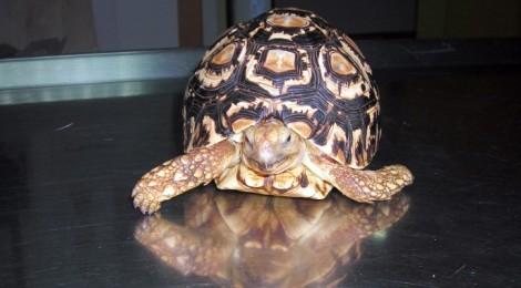 Dieta y cuidados de la tortuga de tierra