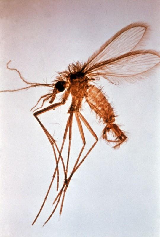 Mosquito phlebotomus, leishmaniosis