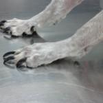 Uñas largas en un perro. Leishmaniosis, síntomas. Diagnóstico clínico